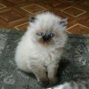 Reinrassige Perser Kitten mit Blau