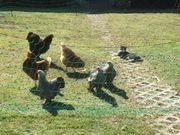 Suche Zwergbrahma Hühner