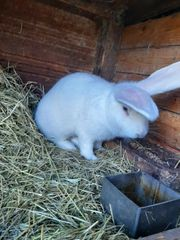 Kaninchen Deutsche Risse
