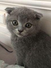 Bezaubernde BKH SCOTISH FOLD Kitten