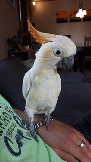 Orangehaubenkakadu Kakadu