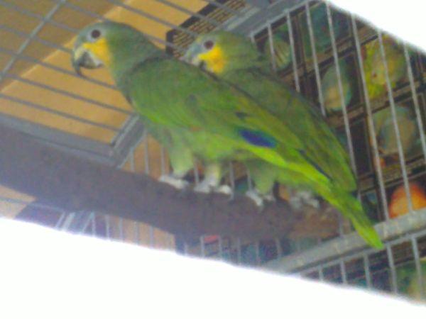 Suche Venezuela Amazonen Weibchen Henne