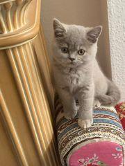 noch wenige BKH Katzen Babies