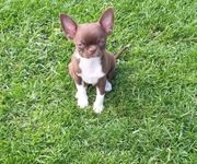 Chihuahua Junge