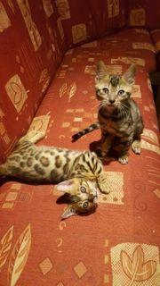 Wundervolle Reinrassige Bengal kitten ab