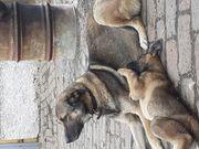 3 Jährige Schäferhundmischlingshündin