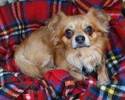 Chihuahua-Mischling Rudi