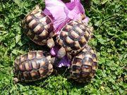 Landschildkröten Testudo marginata NZ 2018