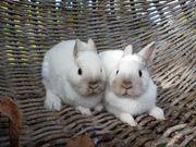 Süßes Mini Zwergkaninchen Baby Paar-kastriert