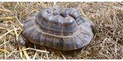 Maurische Landschildkröte Weibchen