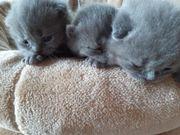 Wunderschöne BKH Kitten in blau