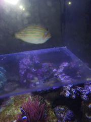meerwasser salzwasser blaustreifen doktorfisch