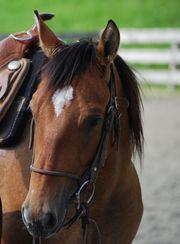 Quarter horses Wallach 2018