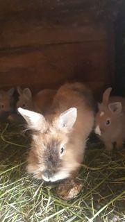 zwerg Kaninchen abzugeben