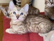 Bengal Kitten Kater Snow Mink
