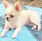 Exklusiver Chihuahua Rüde mit Ahnentafel