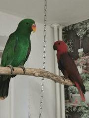 Neuguinea edelpapageien jung Vögel