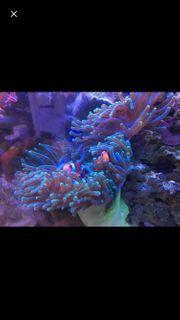 Korallen Anemone groß Heteractis magnifica