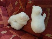 Scottich Fold Kitten