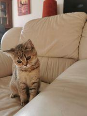 BKH kitten reinrassig Golden Shaded