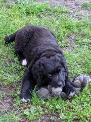 Berner Sennenhund x Labrador Welpe