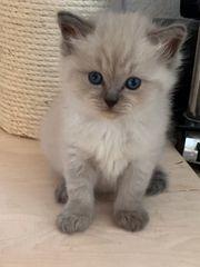 Ragdoll-Kitten ab Ende September zu