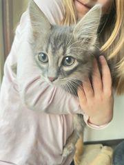 Wunderschöne Kitten Babykatzen geimpft gechipt