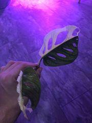 Monstera adansonii variegata Top cutting