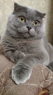 BKH Deckkater Scottish Fold