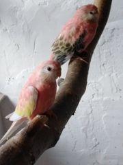 Bourkesittich Paar Lachs Rubino