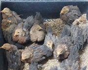 Hühner -- Zwerg Cochin Kücken