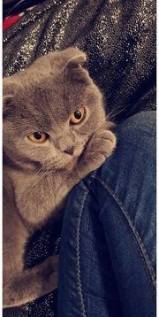 Scottish Fold BKH Katze