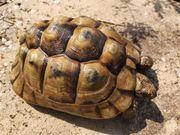 Maurische Landschildkröte Testudo graeca