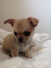 Chihuahua In Lichtenstein Hunde Kaufen Verkaufen Auf Quoka De