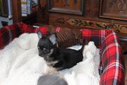chihuahua geimpft entwurmt reinrassig klein