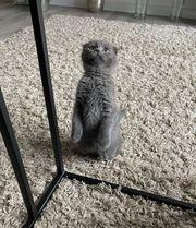 BKH Kitten Bube Junge