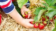 Strohunterlage für Ihre Erdbeerpflanzen saubere