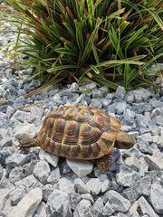 1 männliche Griechische Landschildkröten 2013