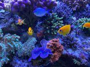 seltenes schönes Päärchen Zitronen Zwergkaiserfische