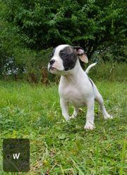 Old-Englisch-Bulldogg Welpen