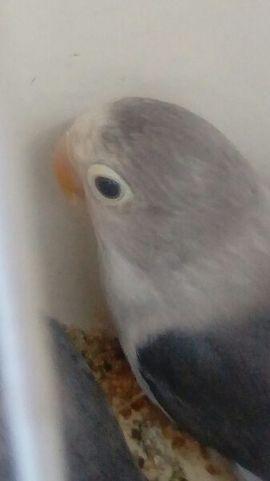 Vögel - Zuchtpaar Pfirsichköpfchen