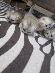 bkh Kitten 2 Jungs und