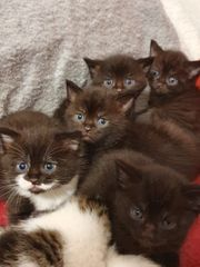BKH Brown Chocololate mix kitten