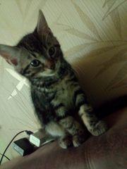 Süßes Kitten Persermix