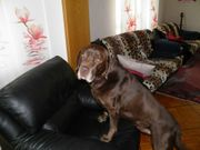 Labrador Deckrüde Tel 0951 18070128