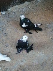 Tadschikische Tauben