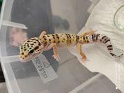 Leopardgecko-Jungtier
