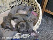 französische Bulldogge Welpe Stammbaum