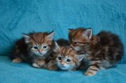 Sibirische Katze - Babykätzchen in black-golden-tabby-classic