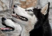 Wir erwarten Siberian Husky Welpen